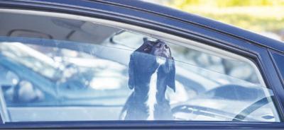 Dog in car