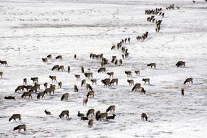 Refuge's scattered elk faring well