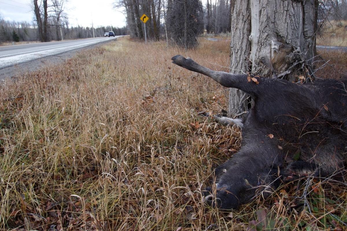 Moose down on 390