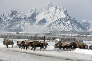 Bison learn to avoid hunters