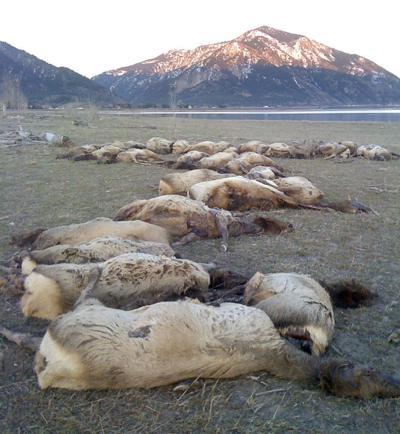 Drowned elk