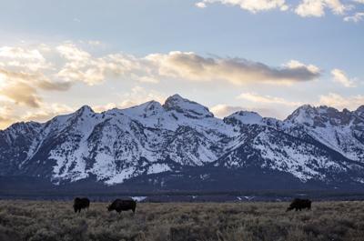 Moose at sunset