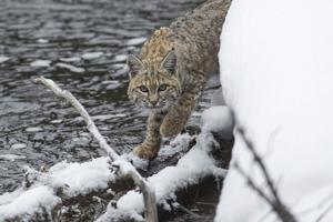 A bobcat's worth? Study says more alive than dead
