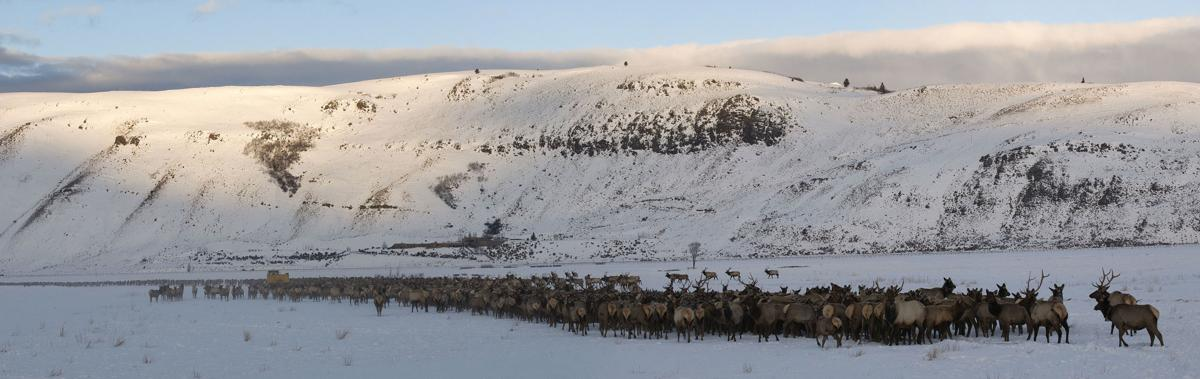 Elk feeding on the National Elk Refuge