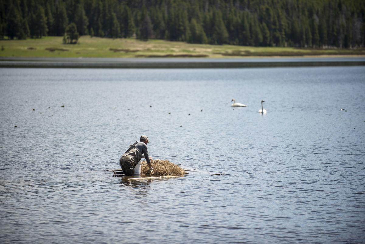 Yellowstone swans