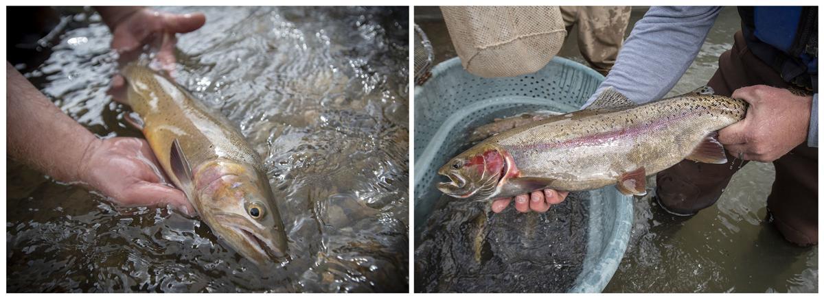 Rainbow trout electrofishing