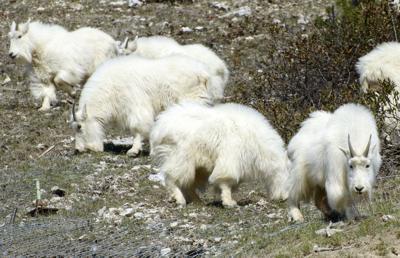 Mountain goat cull