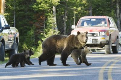 Bear 399 back again with three new cubs