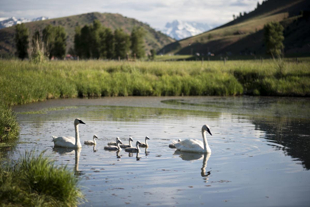 Swan rehabilitation