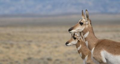 Pronghorn path, again, migrates back on track toward protections