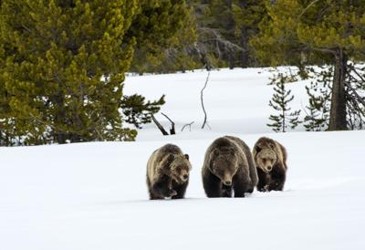 Grizzly 399 cub relocated