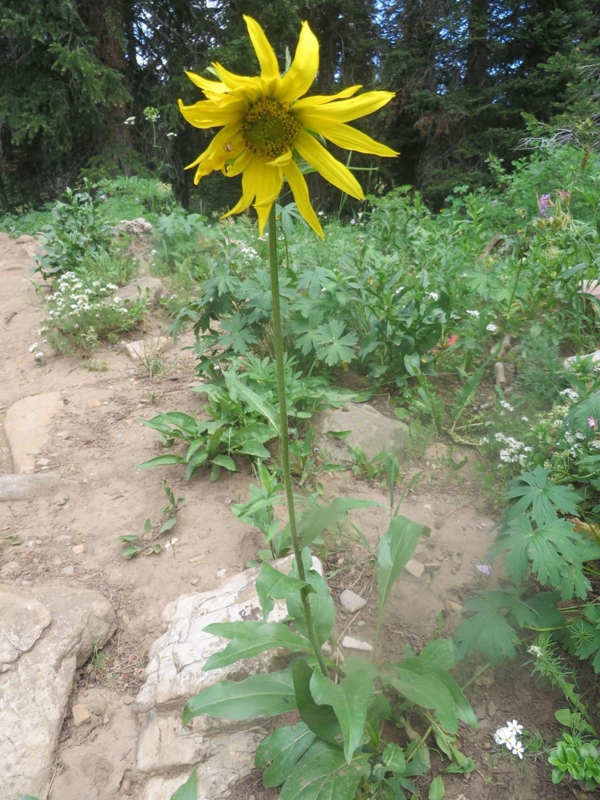 Wildflower of the Week - Helianthella