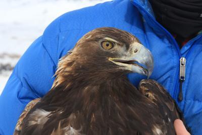 YNP golden eagle
