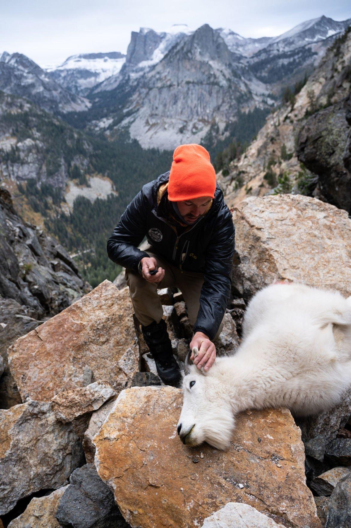 Grand Teton mountain goat cull