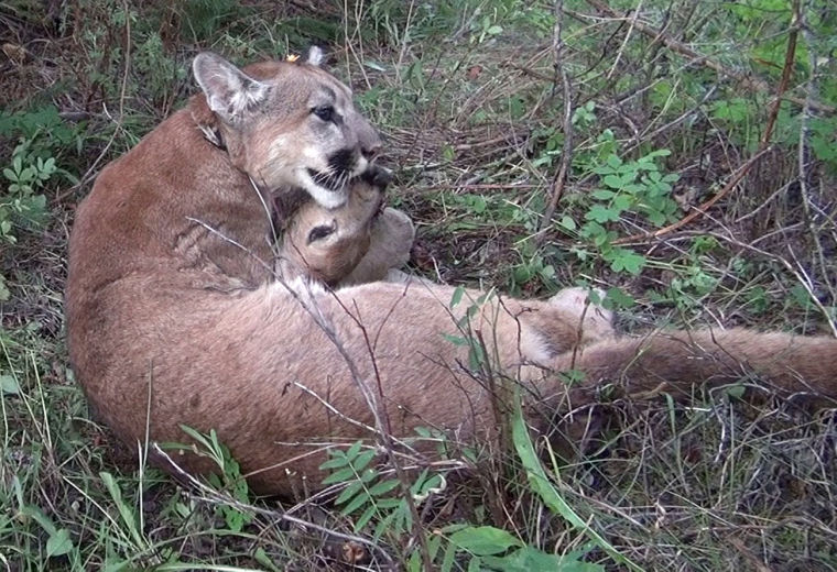 Cougars hunted