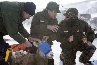Bighorn sheep in Big Piney