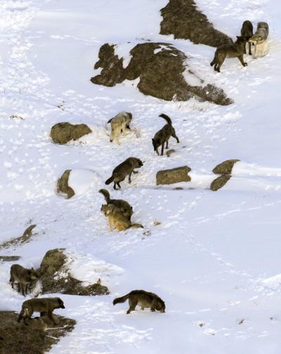 Junction Butte wolf pack