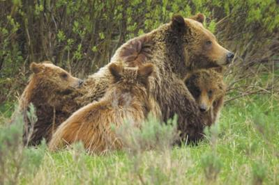 Taste for beef kills cub of grizzly 399