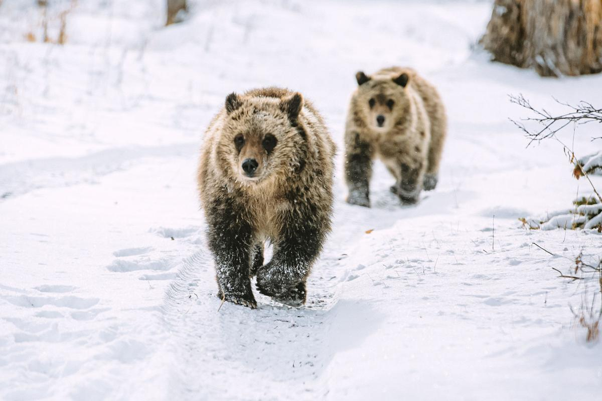 Grizzly 399 cubs