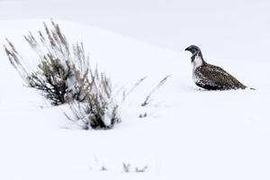 Gros Ventre grouse augmentation 'premature,' state says
