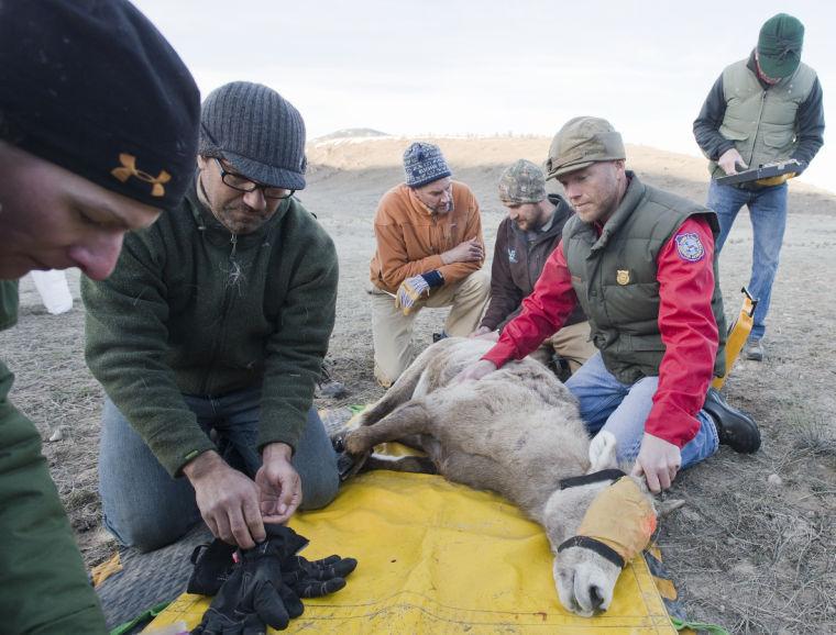 Bighorn sheep collaring