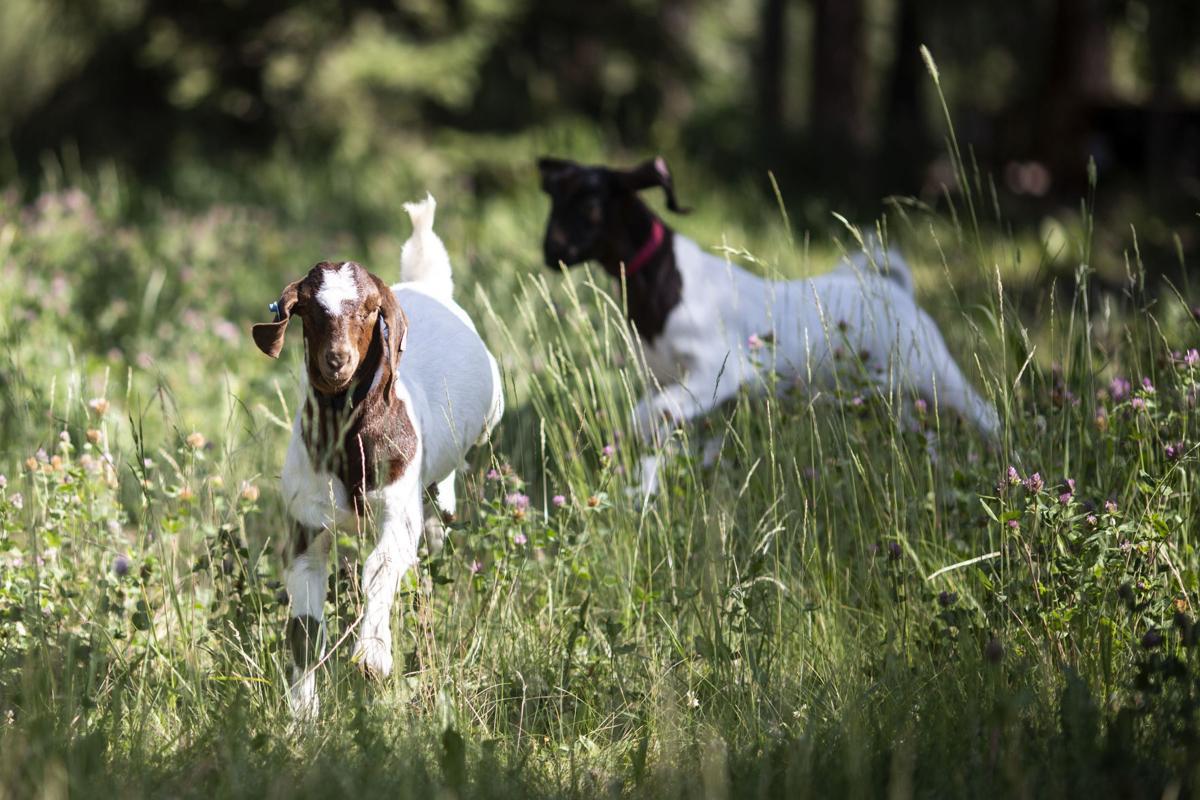 Jack and Maslyn Edmiston 4-H goats