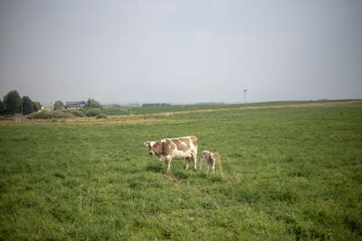 Happy cows make healthy milk and cheese | Business