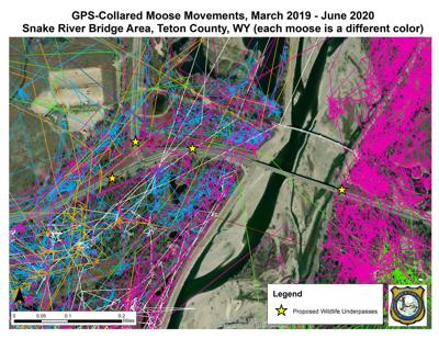 Collared moose movement map
