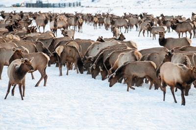 20190925 hw elk feeding 2