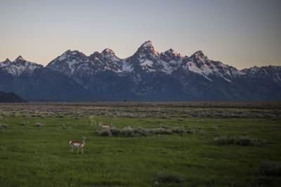 Pronghorn in Grand Teton National Park