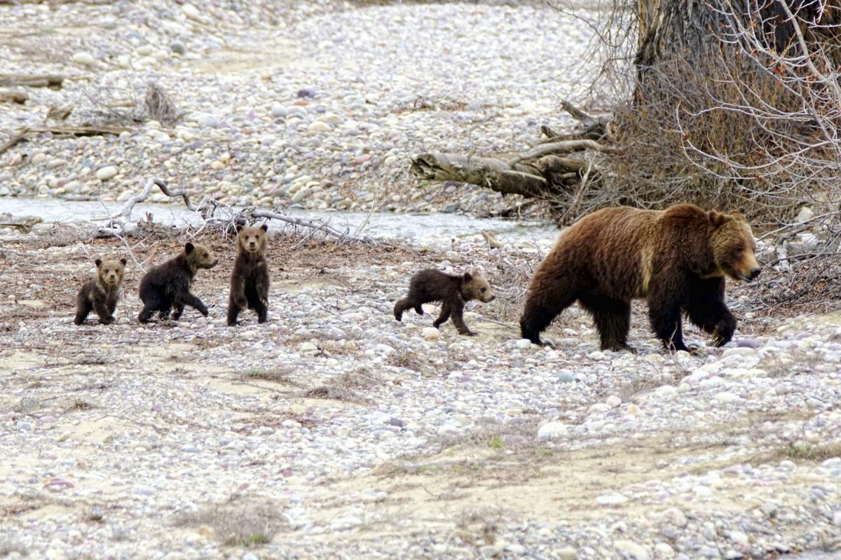 Grizzly bear 399 comes out with four cubs