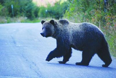 Grizzly bear on Moose-Wilson Road