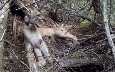 Wolf-killing mountain lion