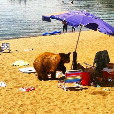 BEAR KILLED-TAHOE BEACH
