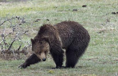 Ahead of hunt, grizzly bears die at high clip