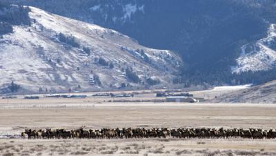 Elk on National Elk Refuge