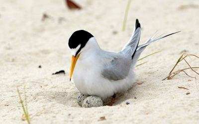 Least Tern Recovery