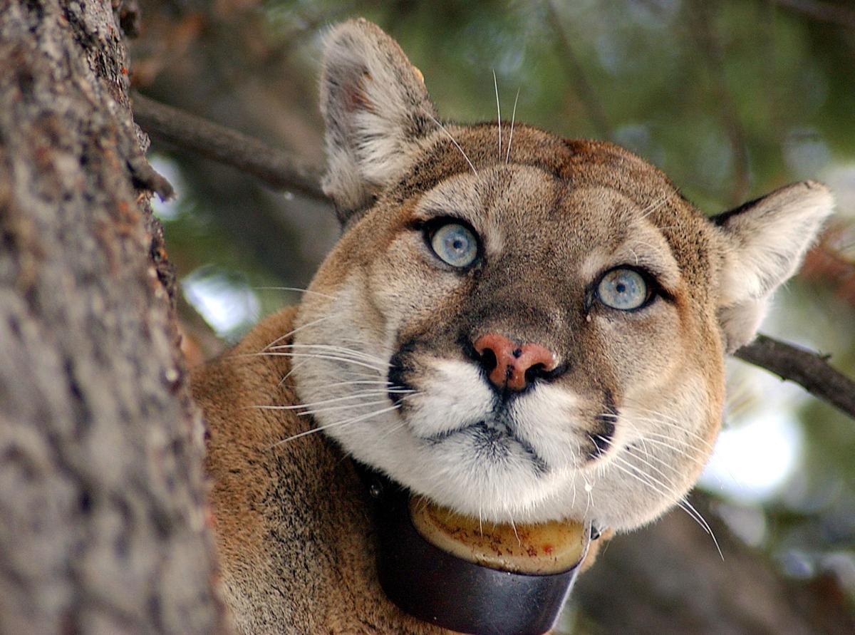 Teton Cougar Project