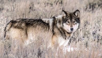 With elk scarce, a Gros Ventre wolf war is underway