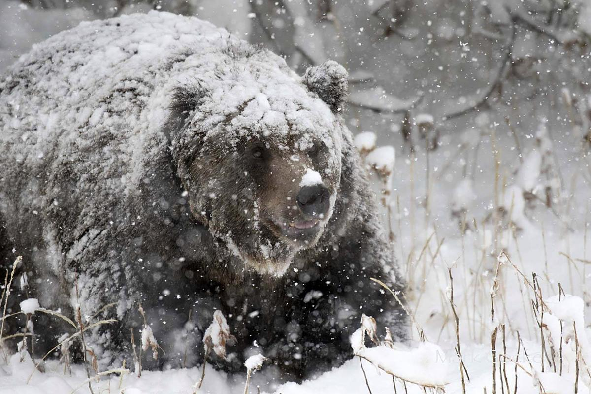 grizzlies still out during late season hunt. Black Bedroom Furniture Sets. Home Design Ideas