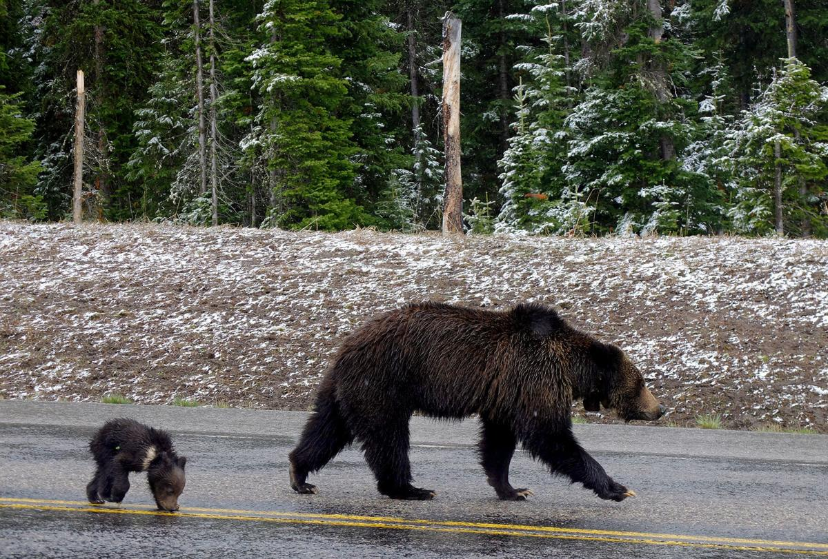 Grizzly 'relisting' is complete | Local | jhnewsandguide com