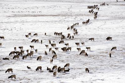 Elk count