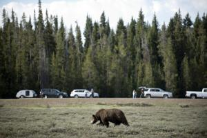 Grizzly delisting is complete