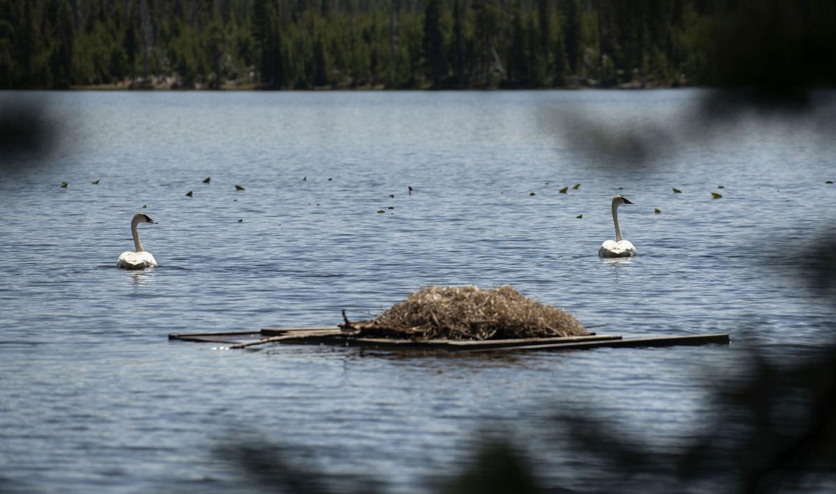Yellowstone trumpeters fight a 'swan song'