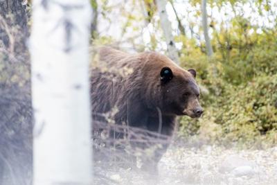 Bear in town