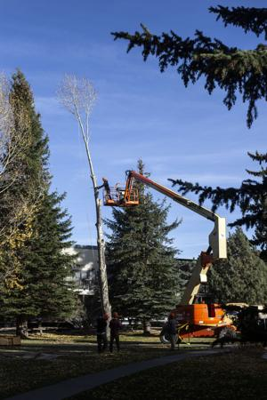 Tree-cutting at church raises questions about cottonwood risks, potential conflicts