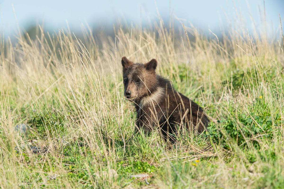 Togwotee grizzly cub