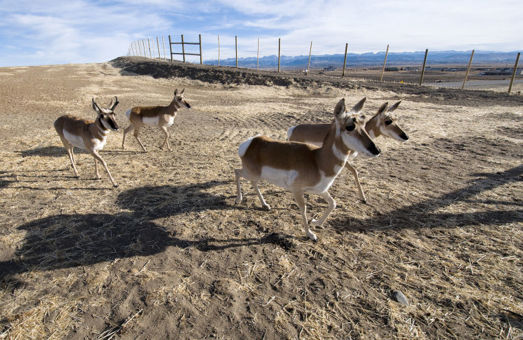 Sublette pronghorn