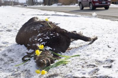 Wildlife Roadkill