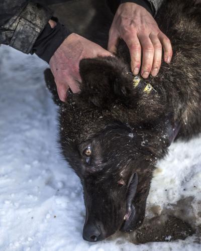 Hoback wolf